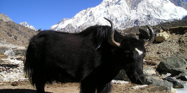 Yak du Nepal
