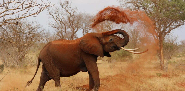 Éléphant d'Etosha